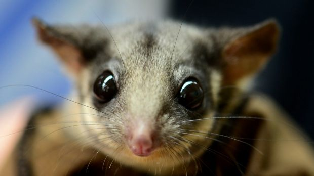 Critically endangered: Leadbeater's possum.