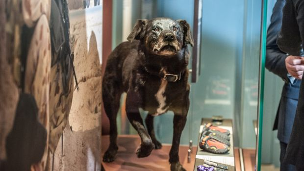 Black Labrador Sarbi went missing in action for more than a year during the Afghanistan conflict.