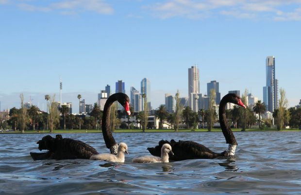 Spring in Melbourne: Flowers bloom, swans breed, the weather is always changing.