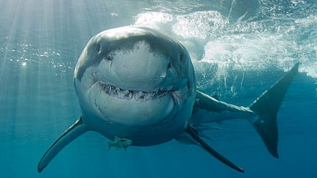 The WA Liberals have called for the great white shark to be de-listed from the vulnerable species list.