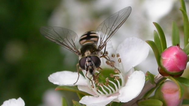 Having hover flies in the garden is a good thing as the larvae eat aphids and the adults pollinate plants.
