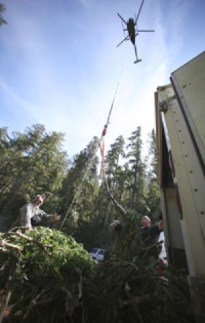 Seized ... A helicopter removes marijuana from  national forest in Humboldt County, California.