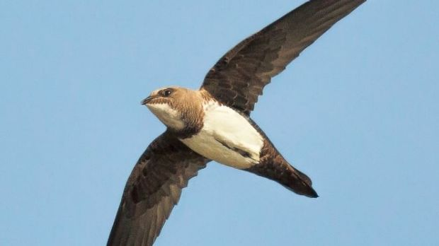 An Alpine swift can stay in the air for six months.