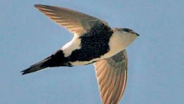 A swift can stay aloft for 10 months.