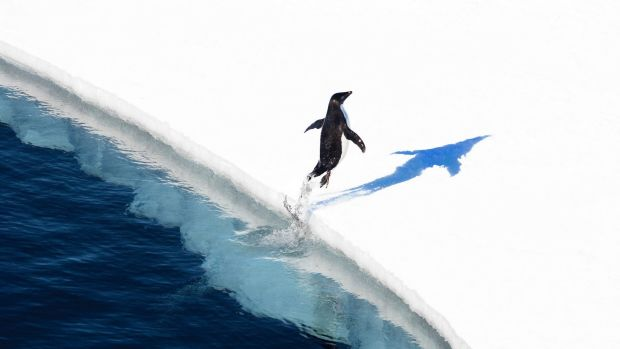Adelie penguin jumping onto the ice.