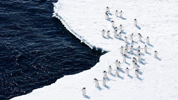Adelie Penguins on the edge of the Ross Sea.