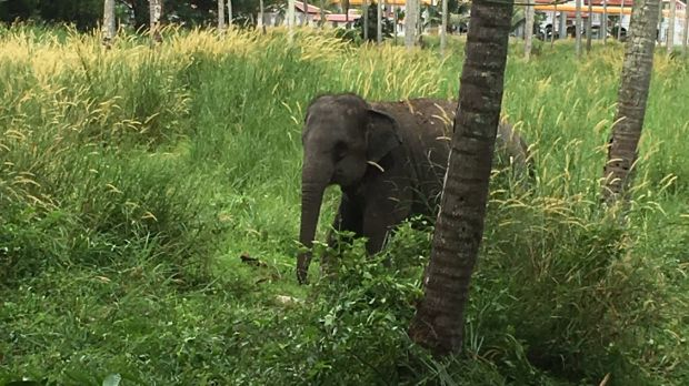 The elephant that attacked Australian man Chan Yun on the Thai resort island of Phuket.
