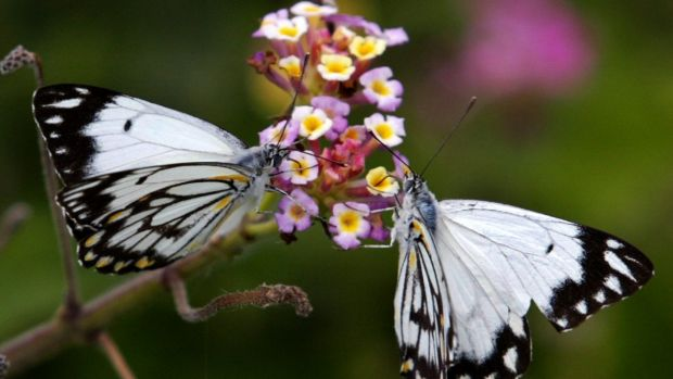 Hundreds of millions of Caper White butterflies are on the move as they migrate east to lay their eggs.