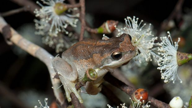 The genetic diversity of the southern brown tree frog fell after the Black Saturday fires.
