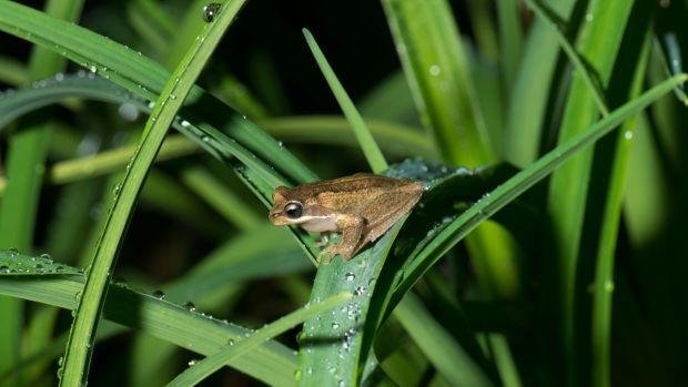 The plains brown tree frog was a part of the study.