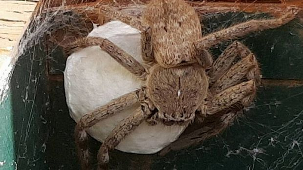 BROODING: This huntsman spider - dubbed 'Hortense' - guards her egg sac in a North Bendigo letterbox. They were born ...