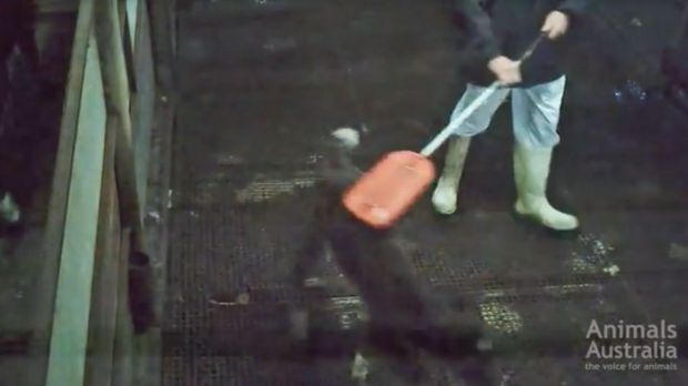 An image from the video showing a newborn calf being beaten.