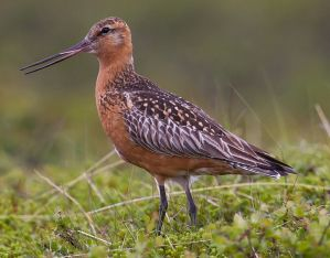 The vulnerable bar-tailed godwit, which migrates from Russia, can be found Toondah.