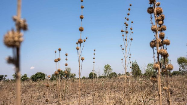 Failed corn crop in Malawi in 2016: drought and heatwaves left some 60 million people in southern Africa dependent on ...