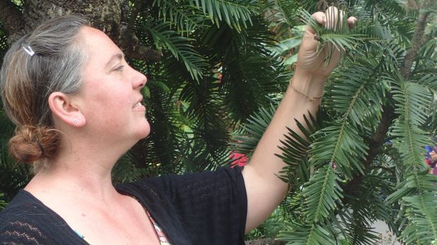Dr Hannah McPherson, of the National Herbarium, Royal Botanic Garden, Sydney, inspecting a Wollemi pine.