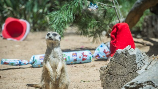 Baby Gifts Canberra Australia : Santa hands early christmas presents to bears meerkats