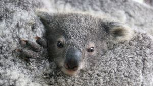 After he successfully mated with two females, the zoo is celebrating producing its first baby koalas in 15 years.