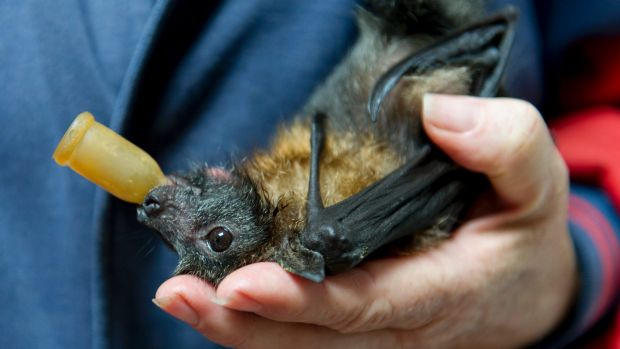 This baby flying fox loves sucking on a dummy. The baby was dropped by its starving mother after she stopped producing ...