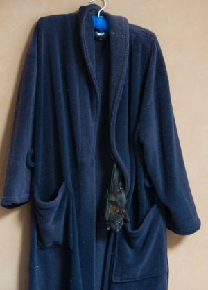 The flying fox loves hanging on his carer's dressing gown.