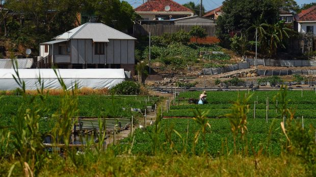 Two gardeners at work in the Arncliffe Chinese Market Gardens, which will lose 1.4 hectares of uncultivated land under a ...
