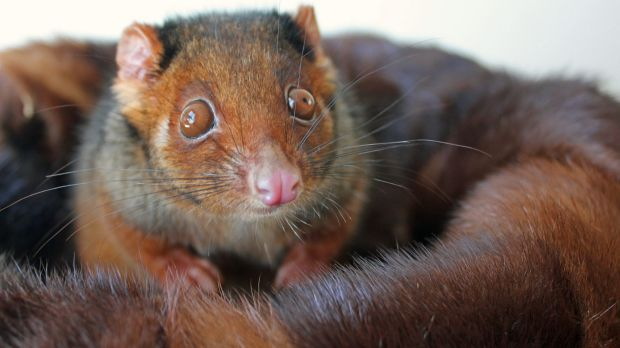 Chelsea the ringtail possum in an old fur coat, recycled for wildlife rescue animals by charity Snuggle Coats.