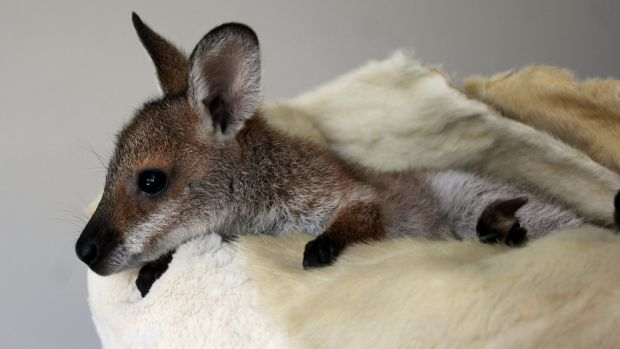 Fifi the red-necked wallaby.