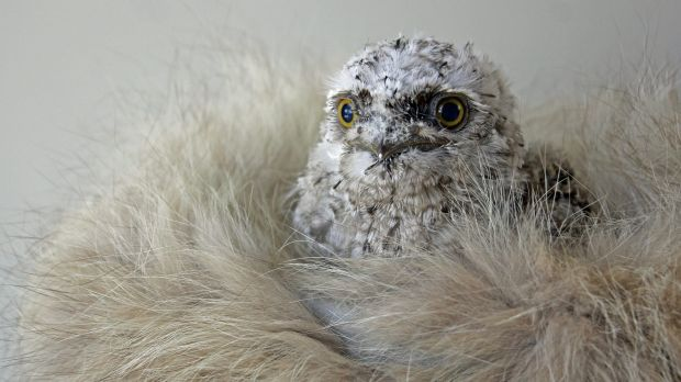 Snow the tawny frogmouth.