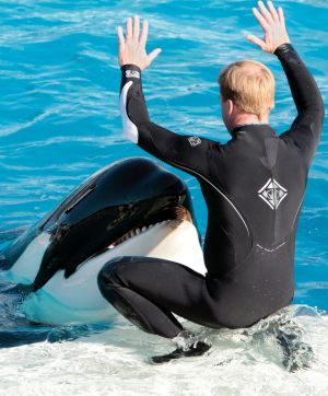 A trainer interacts with one of SeaWorld's killer whales during a show in San Diego.