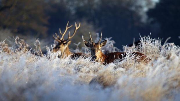 Deer in Bushy Park, south west London, after overnight temperatures fell below freezing across many parts of southern ...