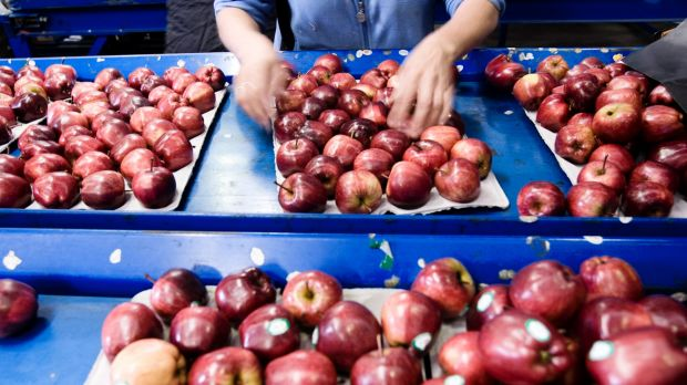 Recent research found two-thirds of vegetable growers found it difficult to access workers to pick and grade produce.