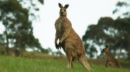 """If you're standing up, the kangaroo can kick you with its hind feet and that can pretty much rip you open,"" Ian Temby says."