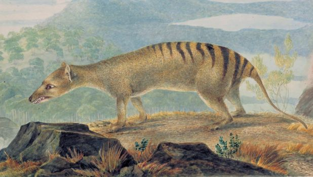 An illustration of the Tasmanian tiger by John Lewin c.1809.