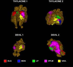 Images showing reconstructed cortical maps of the preserved brains of Tasmanian tigers (top) and Tasmanian devils.