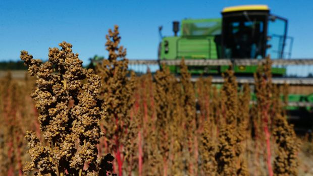A US farmer harvests his quinoa crop.