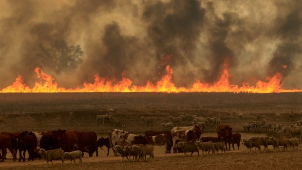 Cattle and smoke near the Sir Ivan fire.