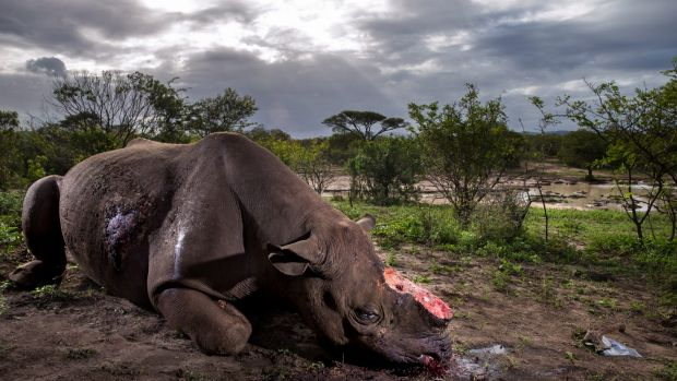 It is impossible for the authorities to find all the rhino carcasses left behind by poachers and it is an accepted view ...