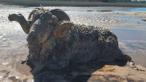 The ram which was stuck in the quicksand.