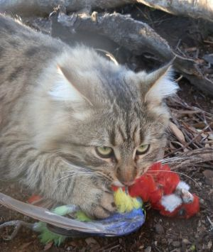 Each feral cat kills up to 1000 native animals a year, and each week will kill three to 20 animals, ranging from ...
