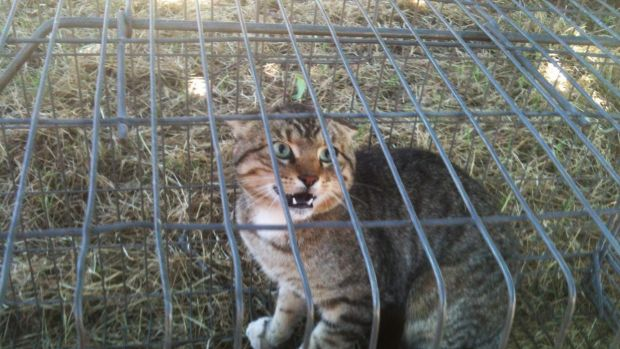 war on feral cats australia aims to cull 2 million