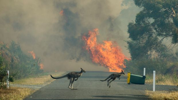 A pair of locals try to escape the fast moving fire near Queanbeyan.