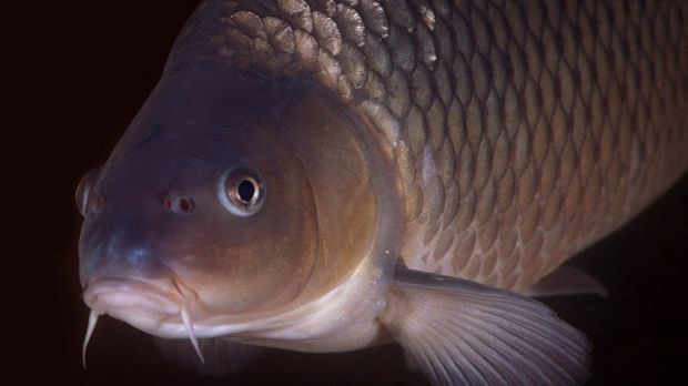 Plans are well advanced to release the carp herpes virus into NSW rivers in 2018.