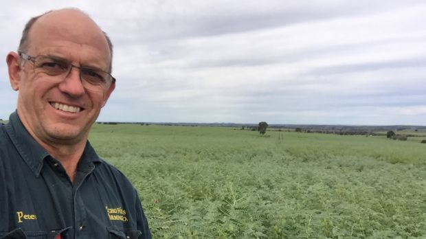 Farmer Peter Thompson with his bumper chickpea crop.