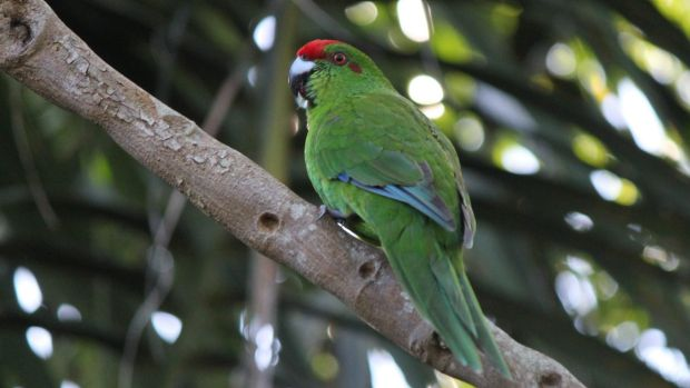 Norfolk Island green parrots faced an existential threat from feral animals.