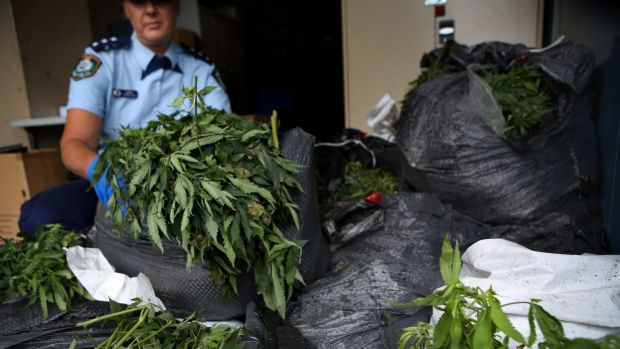 Police inspect and sort bags of cannabis plants that were found dumped in bush on Sydney's northern beaches.