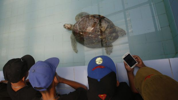 """Young visitors watch the female green green turtle nicknamed """"Piggy Bank"""" swim in a pool at Sea Turtle Conservation Centre."""