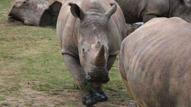 Vince the rhino was killed by poachers in France's Thoiry zoo.