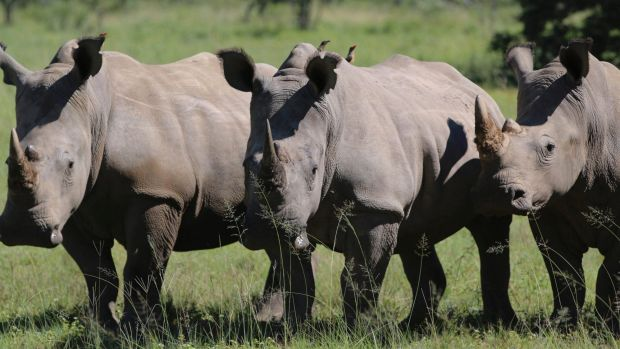 Endangered: Myths about rhino horn's role in traditional medicines have fuelled demand for the illegal trade.