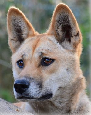 A proposal to study the DNA of Sandy the desert dingo has won The World's Most Interesting Genome Competition.