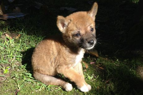 """Sandy the purebred desert dingo, pictured as a pup soon after her 2014 rescue, is a """"gift to science""""."""