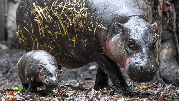 Taronga Zoo's pygmy hippo calf steps out with her mother, Kambiri.